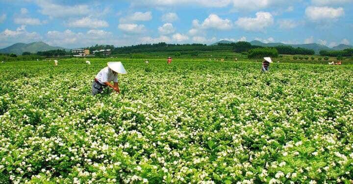ジャスミン花畑